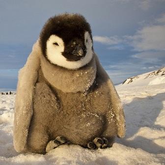 پنگوئن جسور