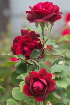 زندگی چون گل سرخی است